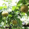 残暑の咳に梨で潤い補給