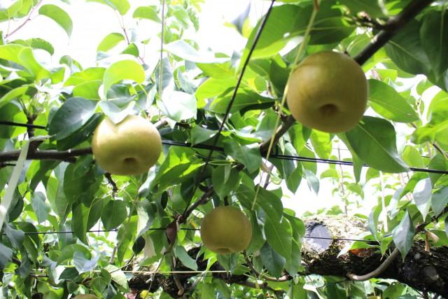 たわわになった梨。とてもジューシー